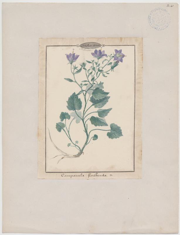 Campanule ; plante à fleurs_0