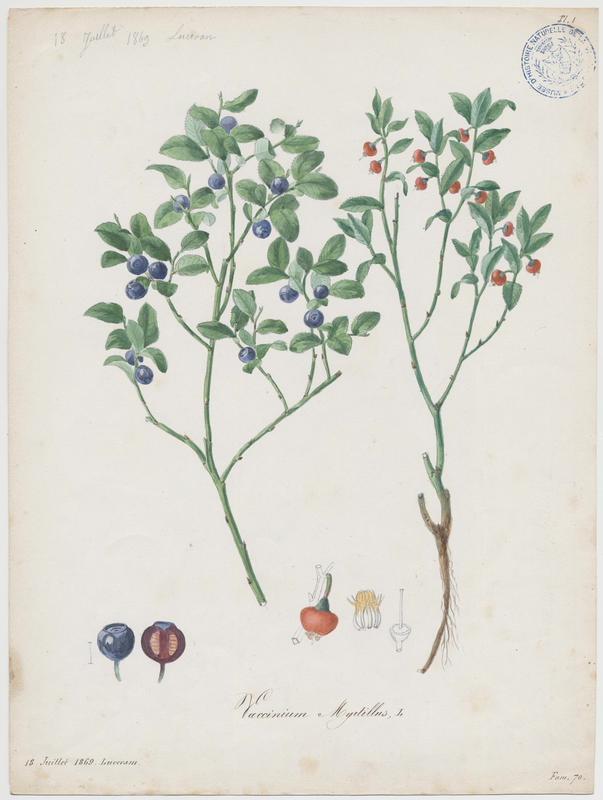 Airelle ; Myrtille ; Maurette  ; plante à fleurs_0