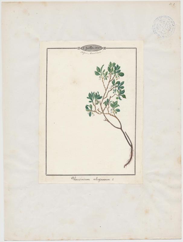 Airelle des marais ; Myrtille des marais ; plante à fleurs_0