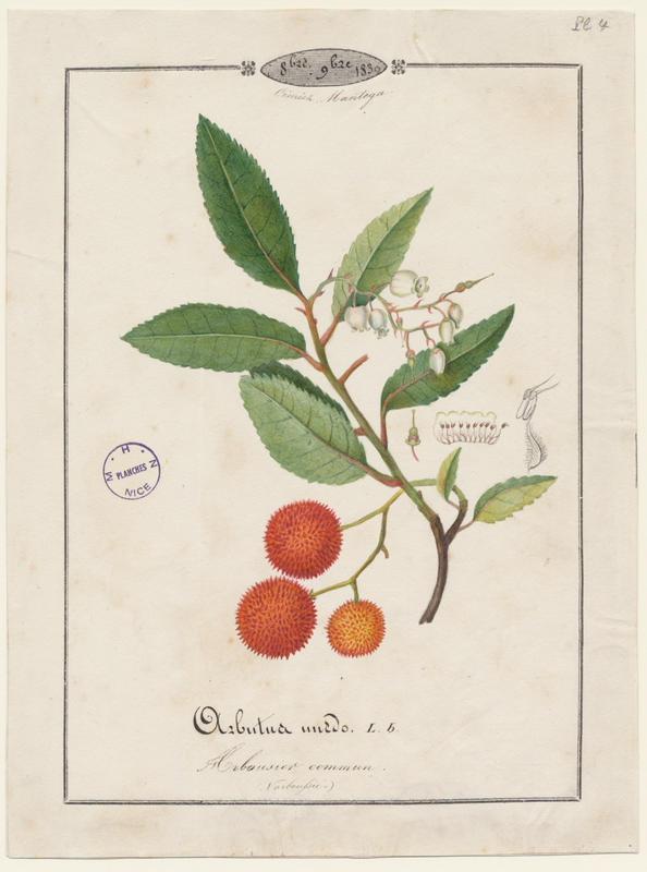 BARLA Jean-Baptiste (attribué à) : Arbousier commun, plante à fleurs