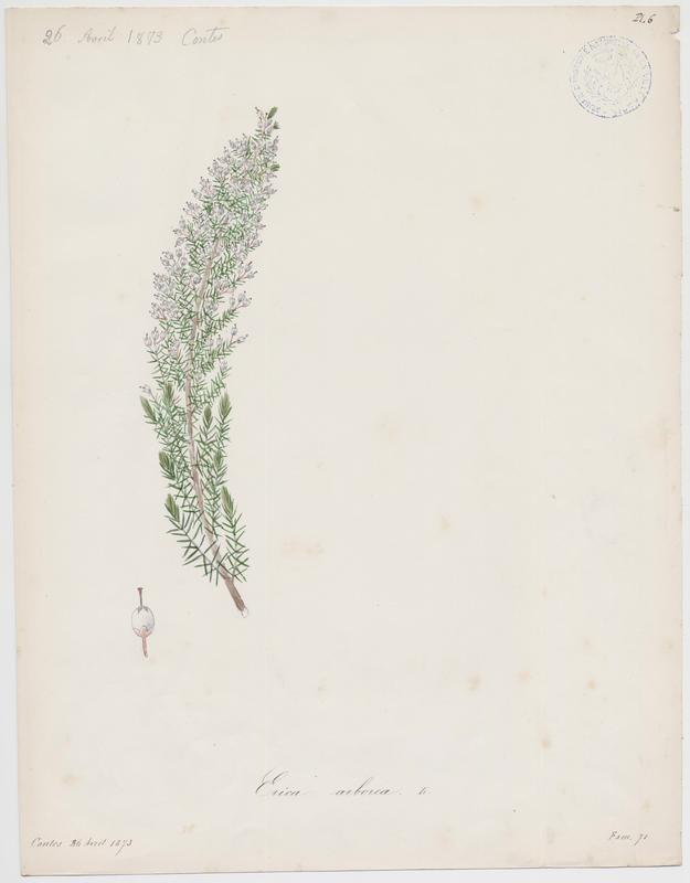 Bruyère arborescente ; plante à fleurs_0