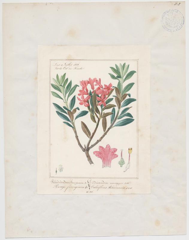 BARLA Jean-Baptiste (attribué à) : Rosage ferrugineux, plante à fleurs