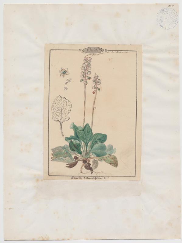 BARLA Jean-Baptiste (attribué à) : Pirole à feuilles rondes, plante à fleurs