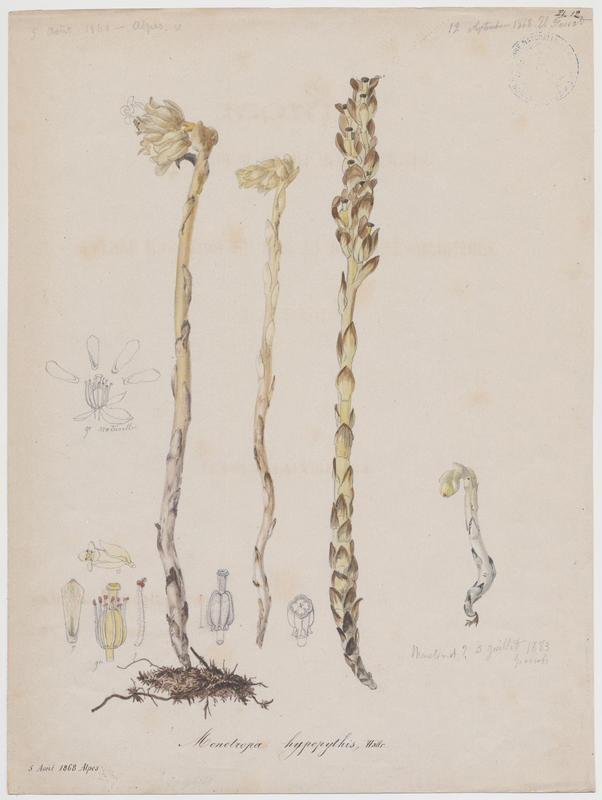 Monotrope sucepin ; plante à fleurs_0