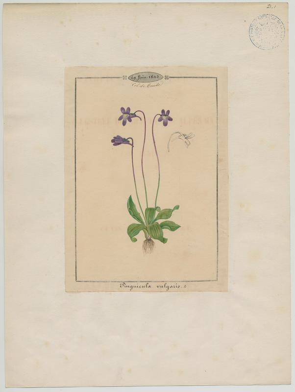 Grassette commune ; plante à fleurs_0