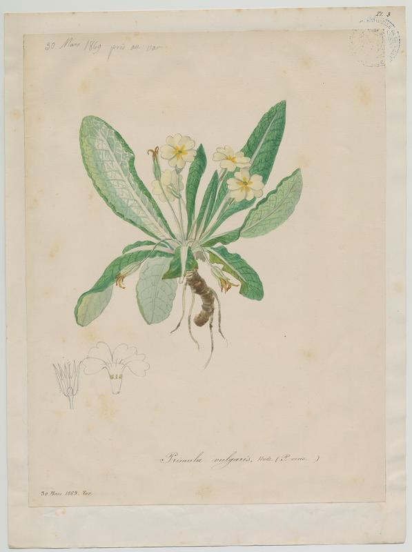 BARLA Jean-Baptiste (attribué à) : Primevère à grandes fleurs, plante à fleurs