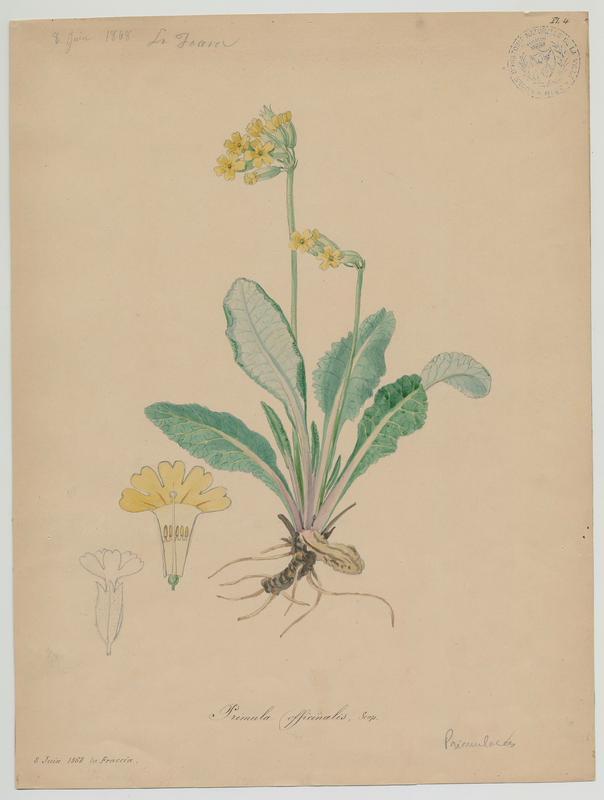 BARLA Jean-Baptiste (attribué à) : Primevère officinale,  Brérelle;  Coqueluchon,  Coucou, Herbe de saint Paul, Primerolle,  plante à fleurs