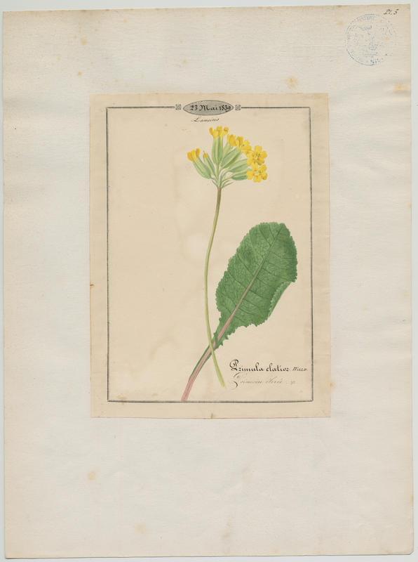 BARLA Jean-Baptiste (attribué à) : Primevère élevée, plante à fleurs