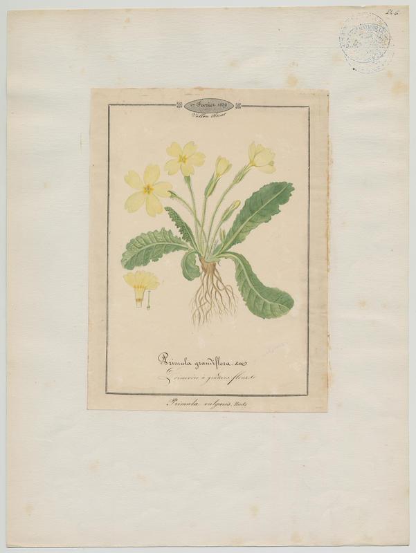 Primevère à grandes fleurs ; plante à fleurs_0