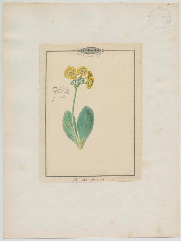 BARLA Jean-Baptiste (attribué à) : Primevère de Balbis, plante à fleurs