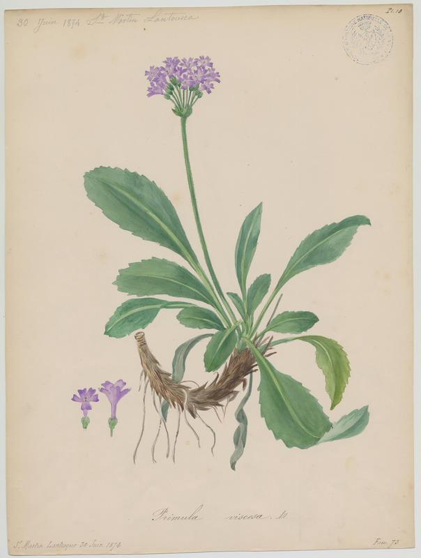 Primevère hérissée ; Primevère hirsute ; plante à fleurs_0