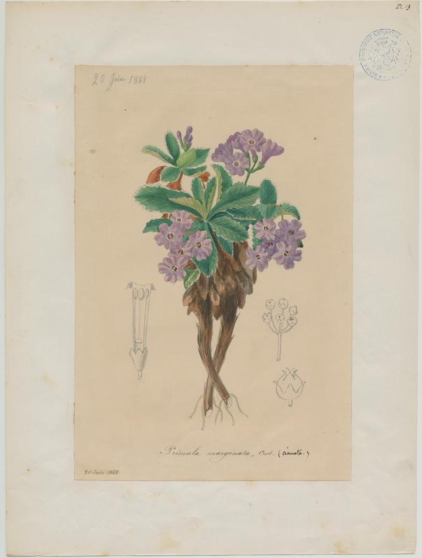 BARLA Jean-Baptiste (attribué à) : Primevère marginée, plante à fleurs