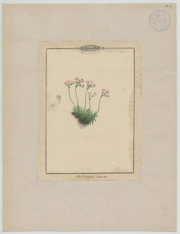 Androsace carnée ; plante à fleurs_0