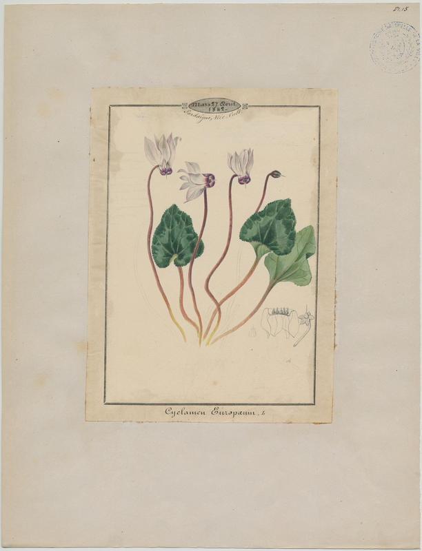 Cyclamen rouge pourpre ; Cyclamen des Alpes ; plante à fleurs_0
