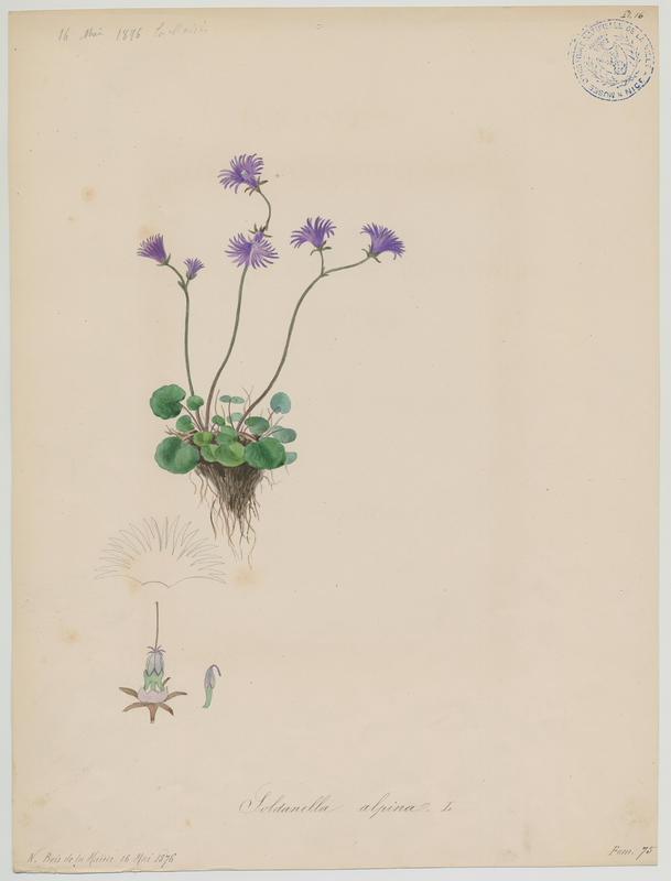 BARLA Jean-Baptiste (attribué à) : Soldanelle des Alpes, plante à fleurs
