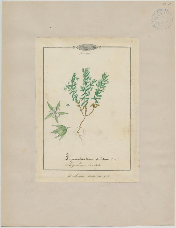 BARLA Jean-Baptiste (attribué à) : Lysimaque lin étoilé, plante à fleurs