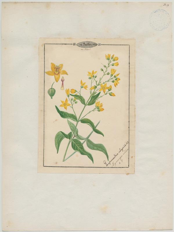 Lysimaque commune ; plante à fleurs_0
