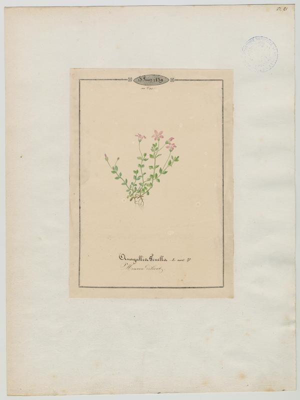 Mouron délicat ; plante à fleurs_0