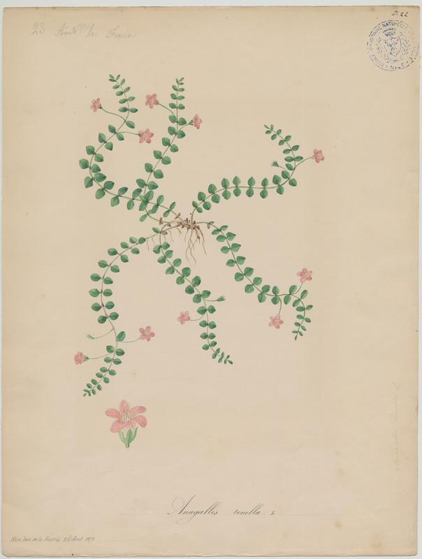 BARLA Jean-Baptiste (attribué à) : Mouron délicat, plante à fleurs