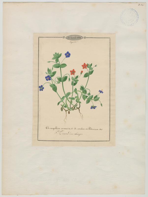 Mouron des champs ; plante à fleurs_0