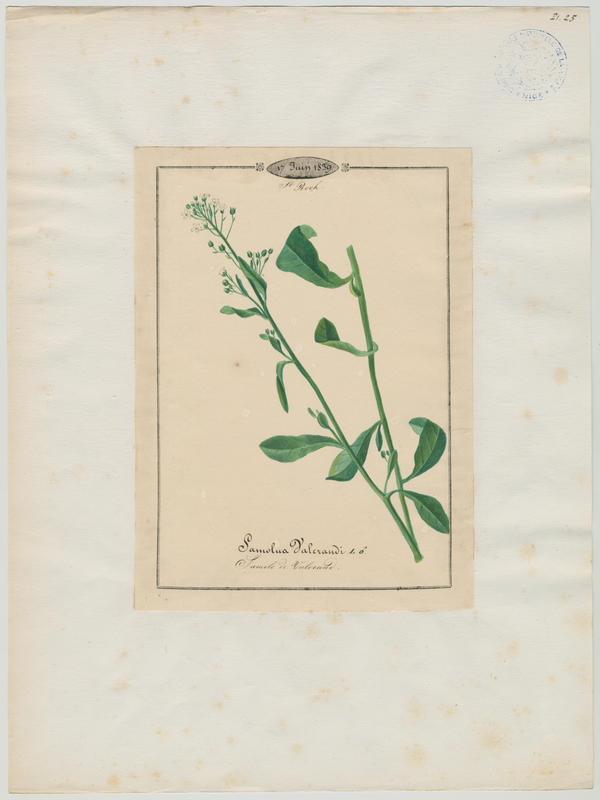 BARLA Jean-Baptiste (attribué à) : Samole de Valerand, plante à fleurs