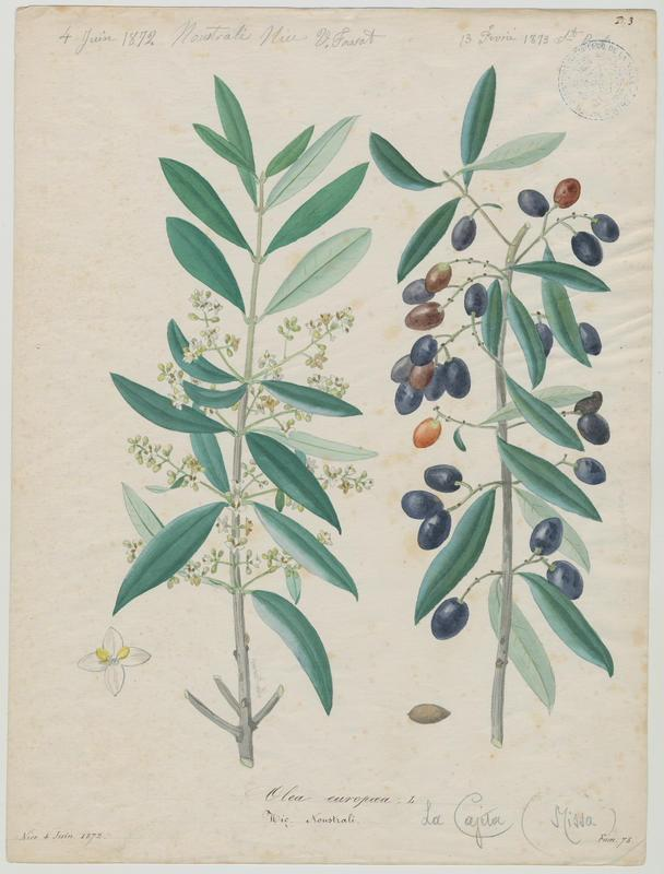 Olivier ; Noustrali ; plante à fleurs_0