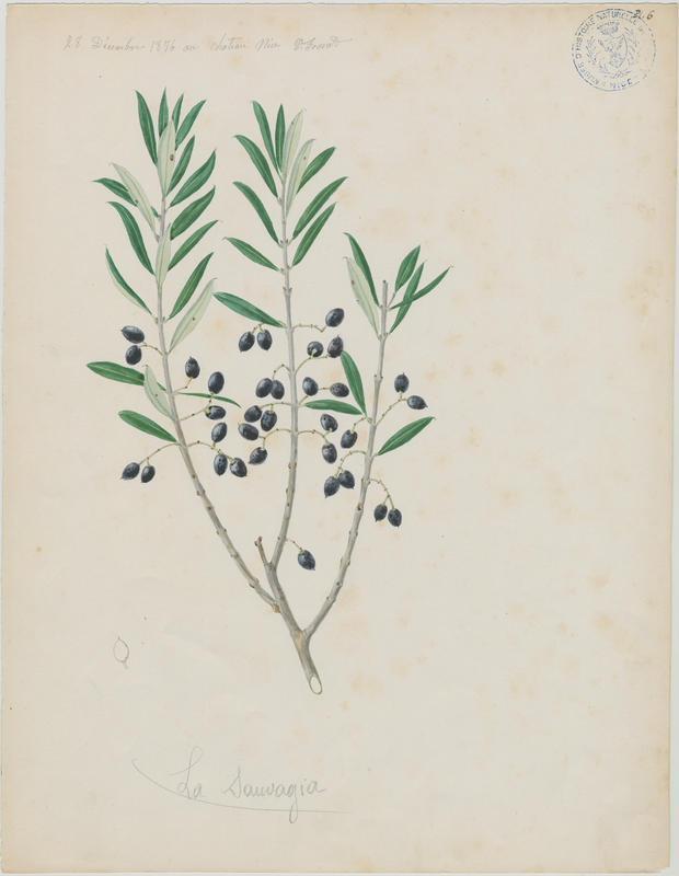 FOSSAT Vincent (aquarelliste, peintre) : Olivier, La sauvagia, plante à fleurs