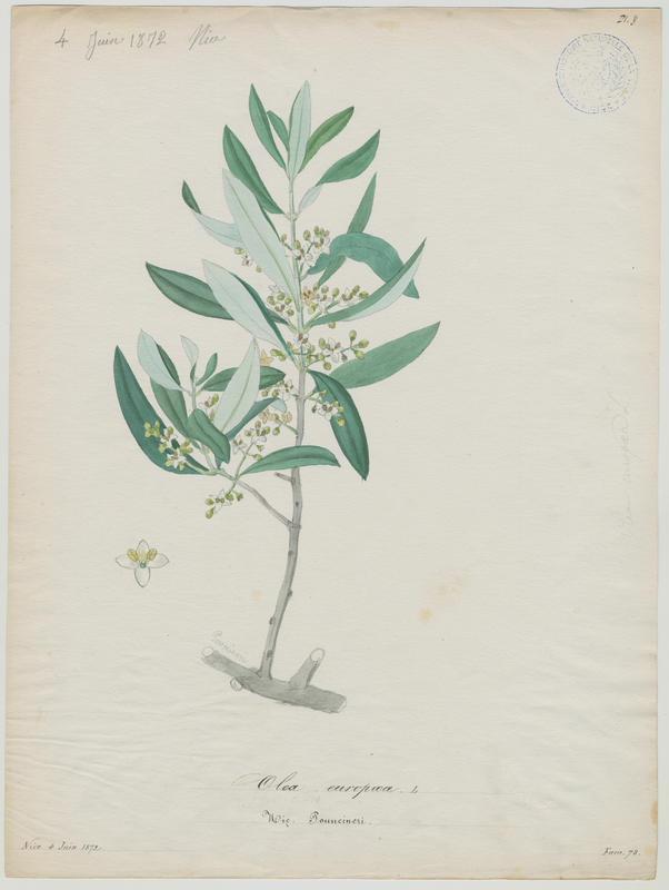 BARLA Jean-Baptiste (attribué à) : Olivier, Pouncineri, plante à fleurs