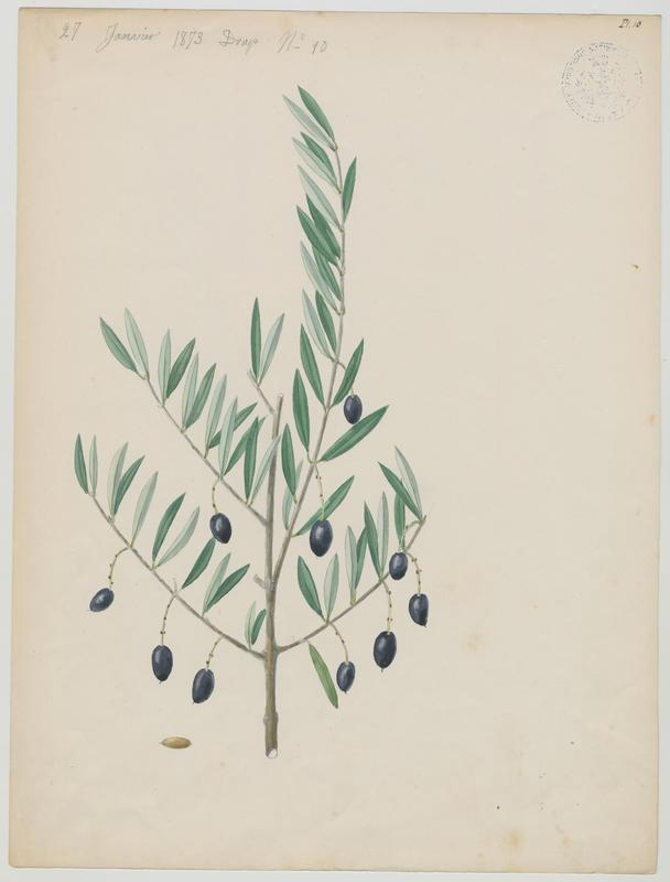 BARLA Jean-Baptiste (attribué à) : Olivier, plante à fleurs
