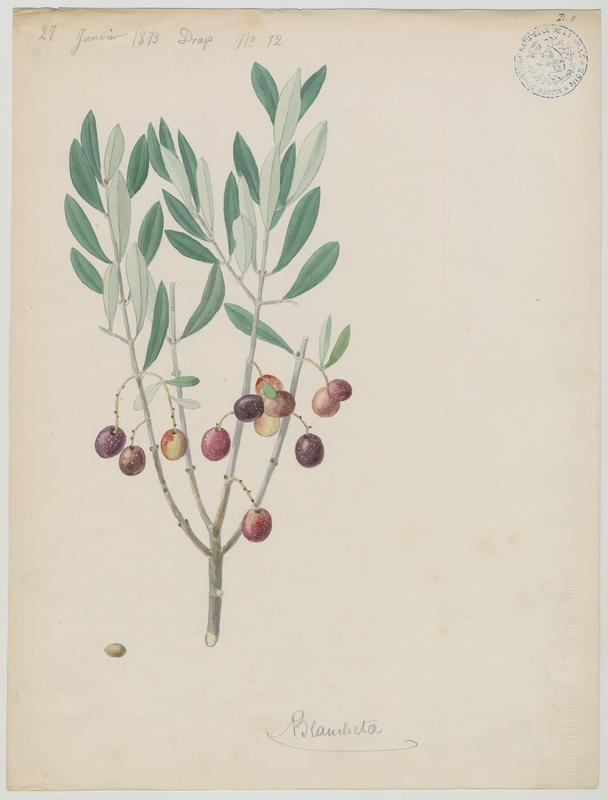 BARLA Jean-Baptiste (attribué à) : Olivier, Blancheta, plante à fleurs