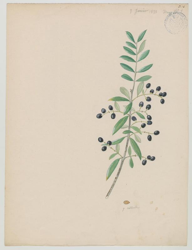 Olivier ; plante à fleurs_0