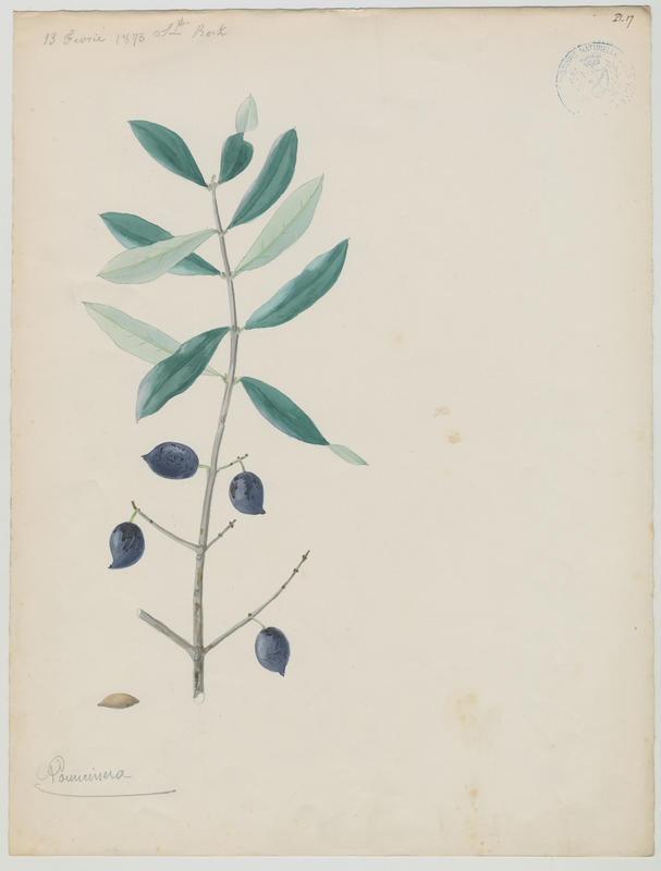 BARLA Jean-Baptiste (attribué à) : Olivier, Pouncinera, plante à fleurs