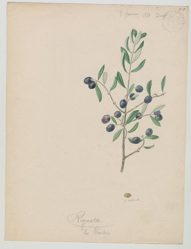 BARLA Jean-Baptiste (attribué à) : Olivier, Pignola, plante à fleurs