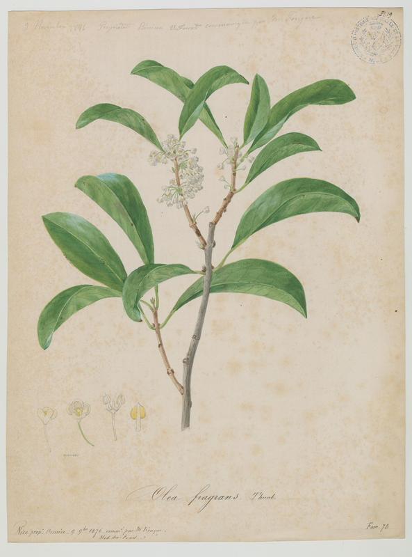 FOSSAT Vincent (aquarelliste, peintre) : Osmanthus, olivier odorant, plante à fleurs