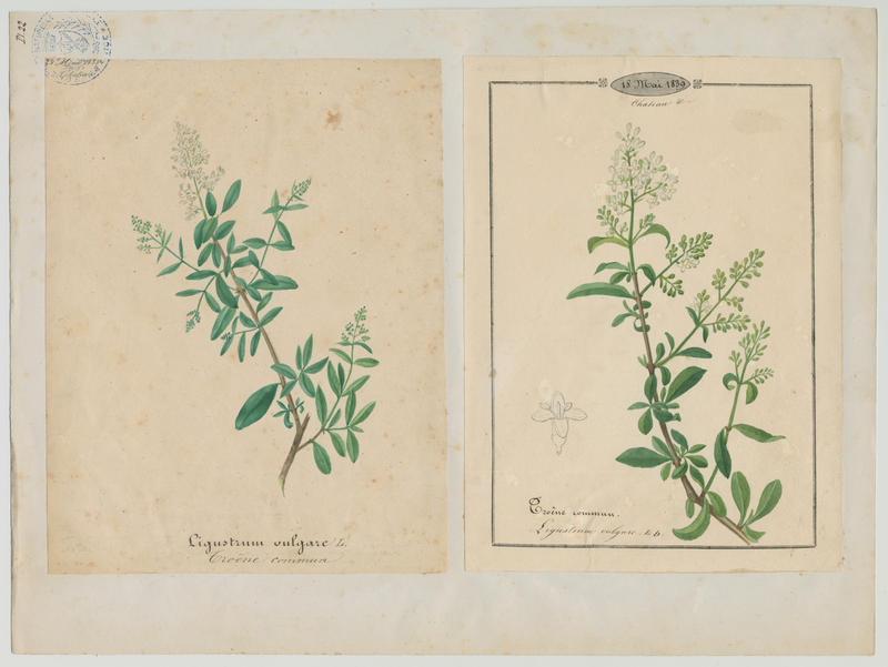 BARLA Jean-Baptiste (attribué à) : Troëne commun, plante à fleurs