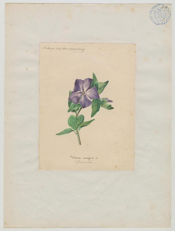 BARLA Jean-Baptiste (attribué à) : Pervenche, plante à fleurs