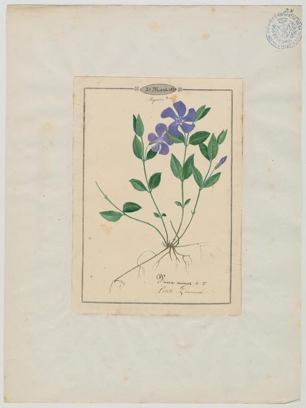 BARLA Jean-Baptiste (attribué à) : Petite pervenche, plante à fleurs
