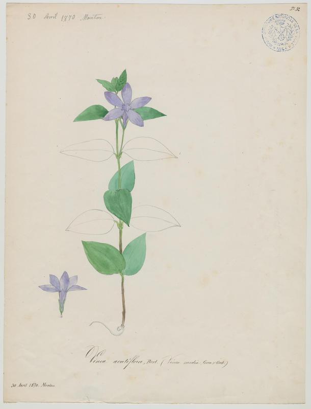 Pervenche difforme ; Pervenche intermédiaire ; plante à fleurs_0