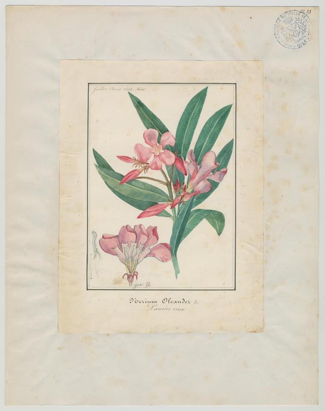 BARLA Jean-Baptiste (attribué à) : Laurier rose, plante à fleurs