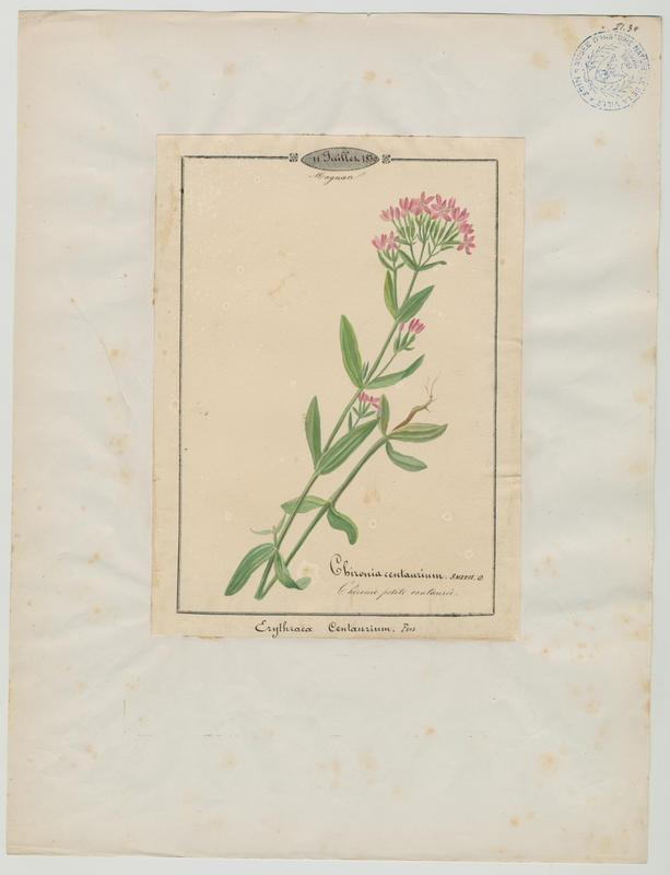 Chironie petite centaurée ; plante à fleurs_0