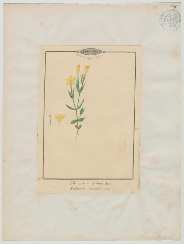 BARLA Jean-Baptiste (attribué à) : Petite centaurée maritime, plante à fleurs