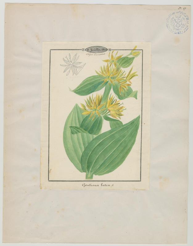 BARLA Jean-Baptiste (attribué à) : Gentiane jaune, plante à fleurs