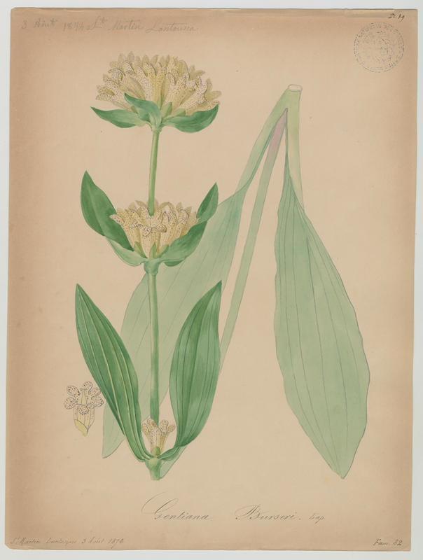 BARLA Jean-Baptiste (attribué à) : Gentiane de Burser, plante à fleurs
