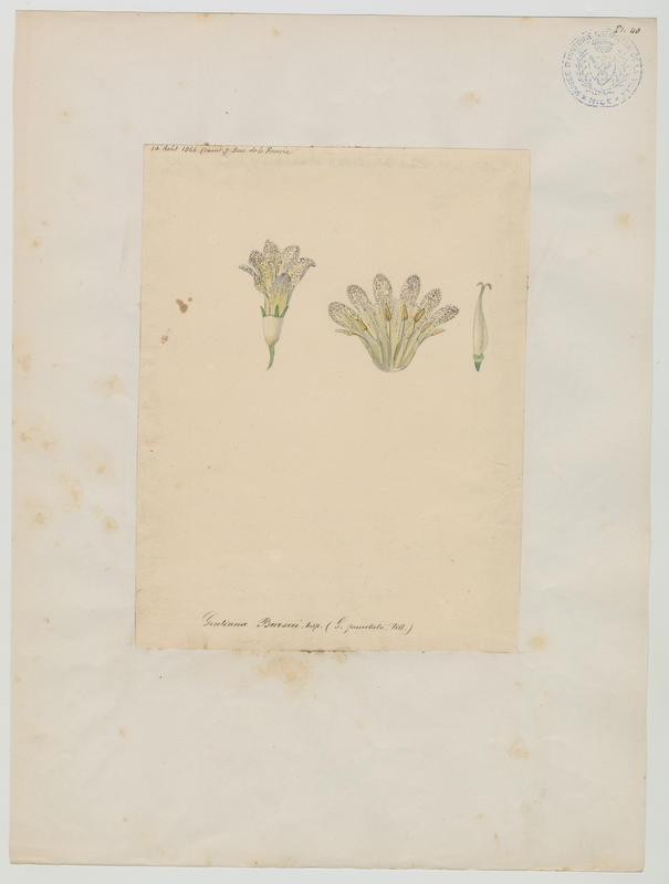 Gentiane de Burser ; plante à fleurs_0