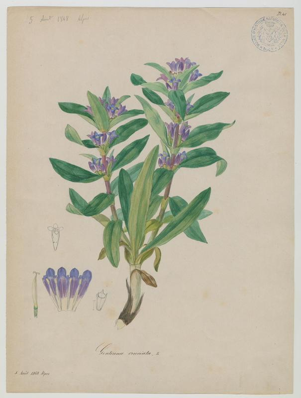 BARLA Jean-Baptiste (attribué à) : Gentiane croisette, plante à fleurs