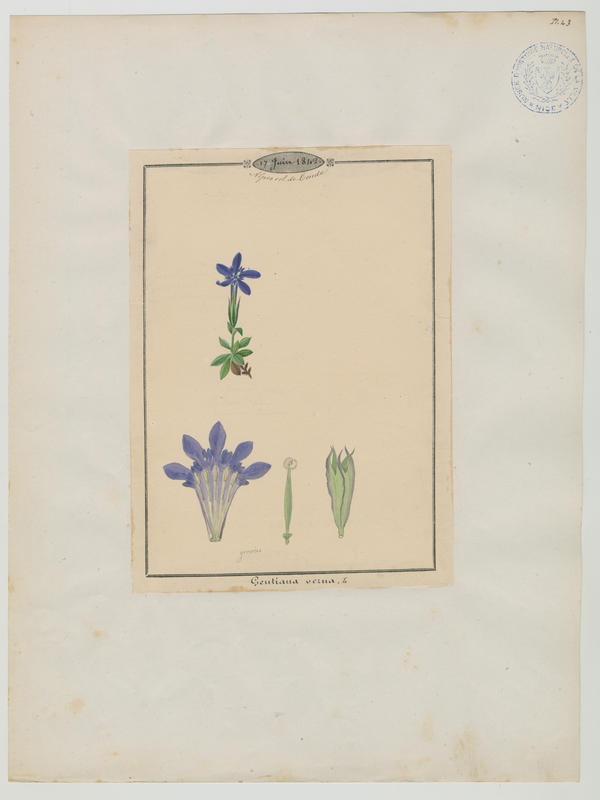 BARLA Jean-Baptiste (attribué à) : Gentiane printanière, plante à fleurs