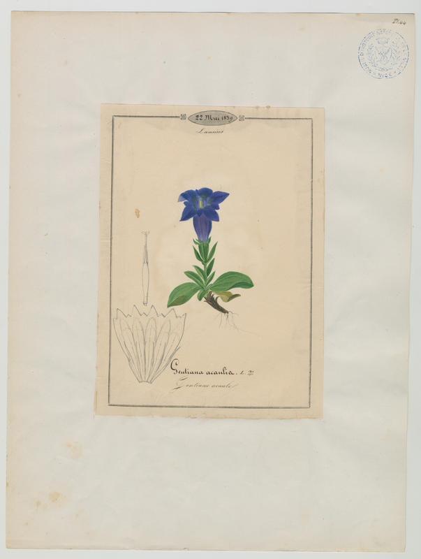 BARLA Jean-Baptiste (attribué à) : Gentiane acaule, plante à fleurs