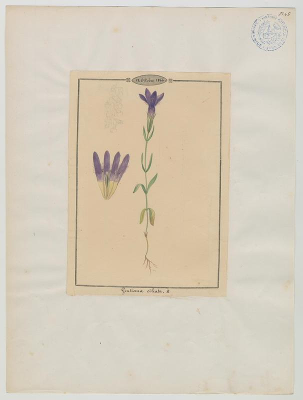 Gentiane ciliée ; plante à fleurs_0