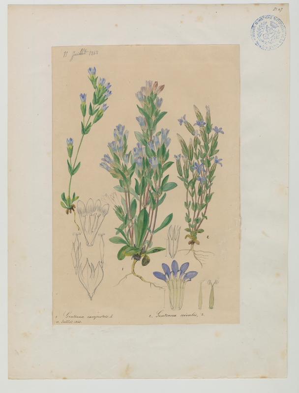 Gentiane des neiges ; plante à fleurs_0