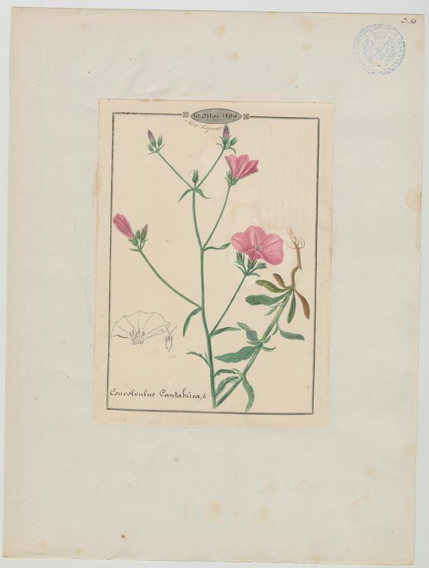 Liseron de Biscaye ; plante à fleurs_0
